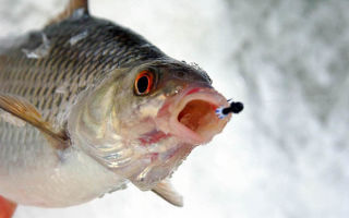 Наиболее популярные снасти для ловли плотвы зимой