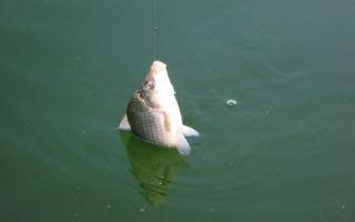 Правильные поводки на карася для рыбалки фидером и на поплавок