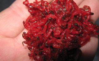 Пучковяз для насадки рыболовной приманки — мотыля