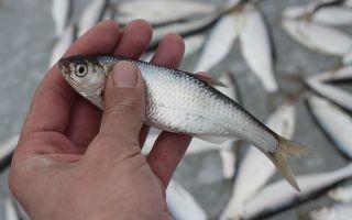 Как ловить уклейку — снасти и способы ловли