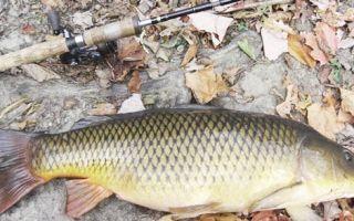 Фидерная ловля сазана — снасти, прикормка и техника ловли