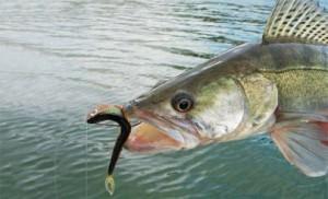 Дроп-шот хорошо засекает рыбу даже с жесткой пастью (судака)