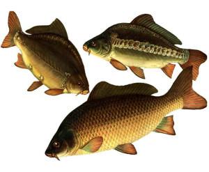 Карп - одна из самых крупных белых рыб населяющих российские водоемы. Очень сильна, но не очень осторожна.