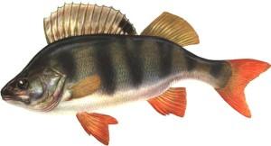 Окунь - самый распространенный речной и прудовый хищник России