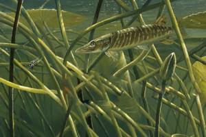 Ловля щуки на живца весной, летом и осенью по воде: снасти и оснастки, выбор живца и места ловли
