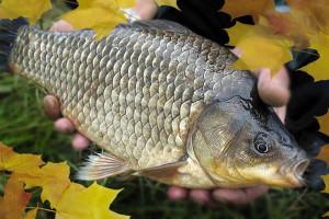 Осенний карась в руках рыболова