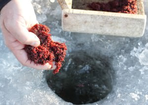 zimnyaya prikormka dlya plotvy 300x213 - Самодельная прикормка для плотвы своими руками: рецепты для ловли летом, зимой, весной и осенью