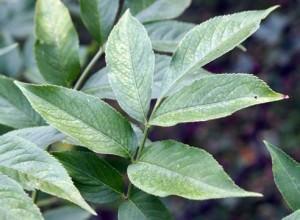 Листья бузины, как эффективное средство от комаров