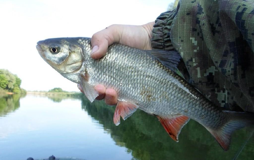 Язь в руках рыбака