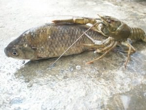 Рак и рыба