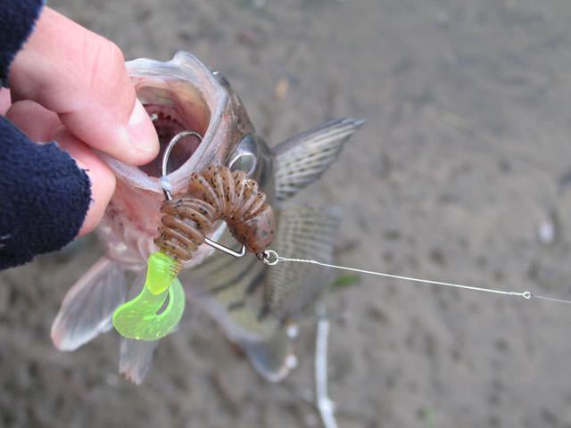 Рыба, пойманная на поводок