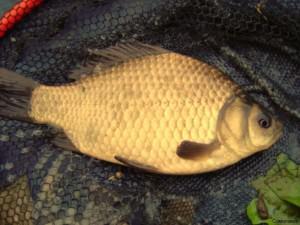 Карась - самая популярная мирная рыба России