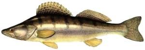Судак - донный хищник, обитающий на большой глубине