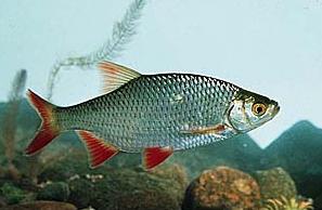 Красноперка - поверхностная рыба, любящая водную растительность