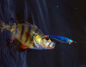 Попперы на окуня вопреки сомнениям многих рыболовов могут быть и крупного размерам