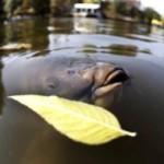 Карповая ловля осенью становится чуть менее добычливой, но не менее интересной!