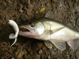 Весенний судак, пойманный на ярко белый твистер в мутной воде (оснастка - отводной поводок)