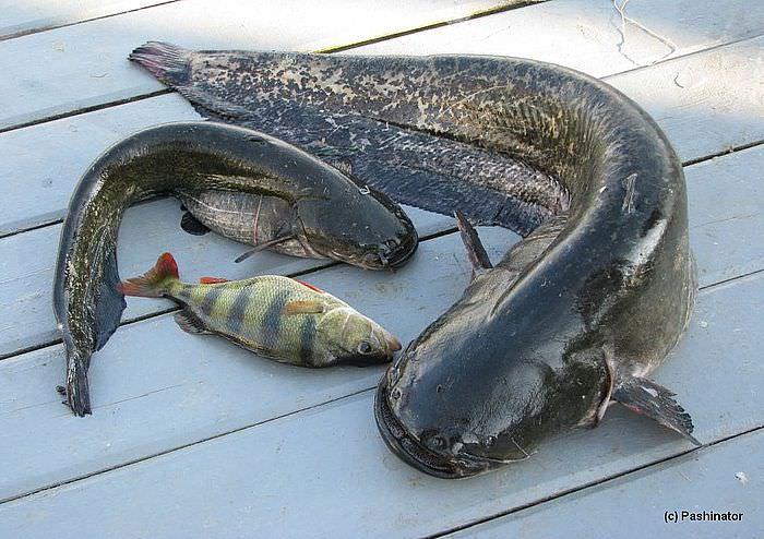 Ловля сома на спиннинг с берега — Здесь рыба