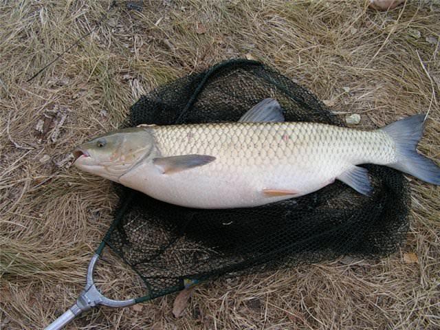 Снасть для ловли белого амура — Здесь рыба