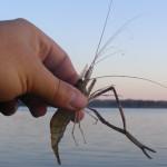 Креветка в руках рыболова