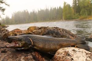 Рыба лежит на камнях в Карелии