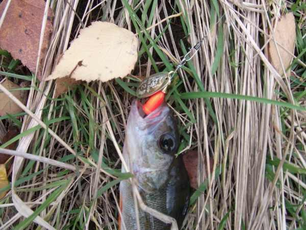Рыба, пойманная на блесну Blue Fox