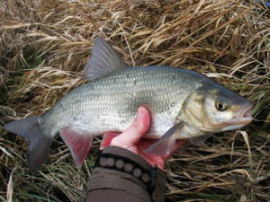 Пойманная рыба на Ахтубе